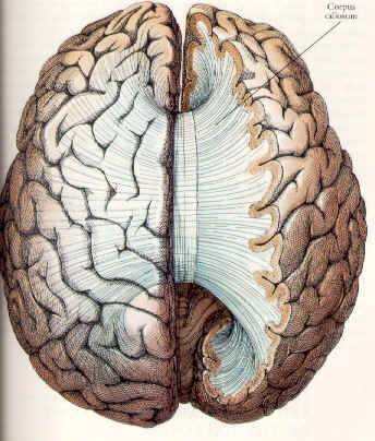 hemispheres of one 39 s world : corpus callosum diagram - findchart.co